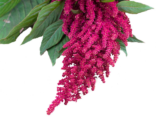 RED AMARANTHUS HANG